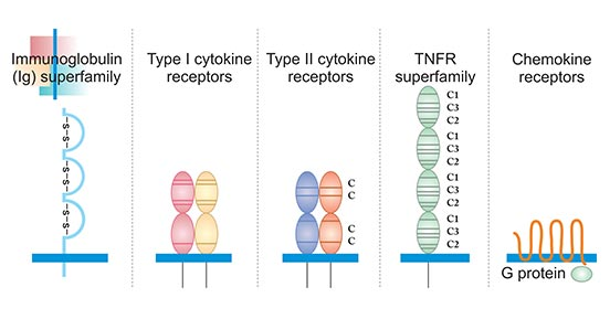 The typical structure of five cytokine receptors