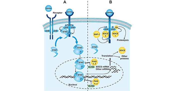 Regulation of the JAK-STAT signal transduction pathway