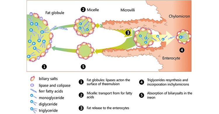 Digestion and absorption of lipids