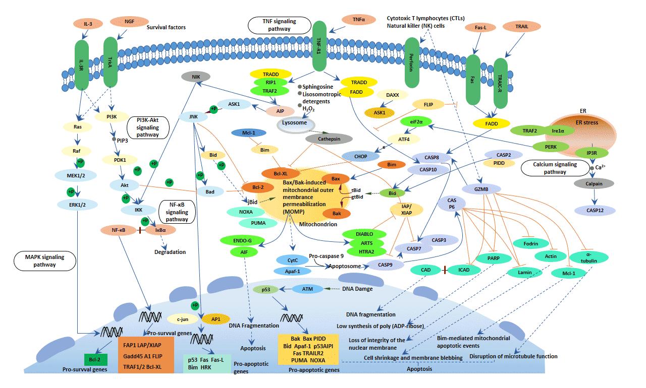 Apoptosis signaling pathway - Cusabio