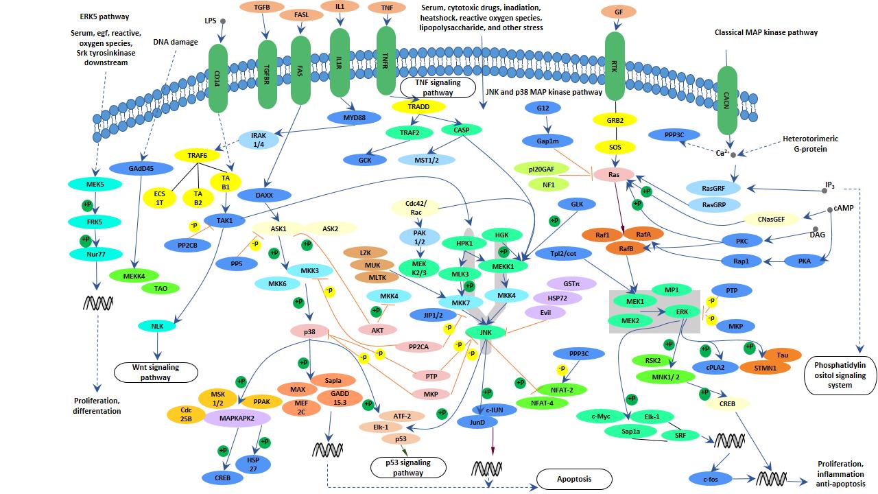 MAPK signaling pathway - Cusabio 327362852a8