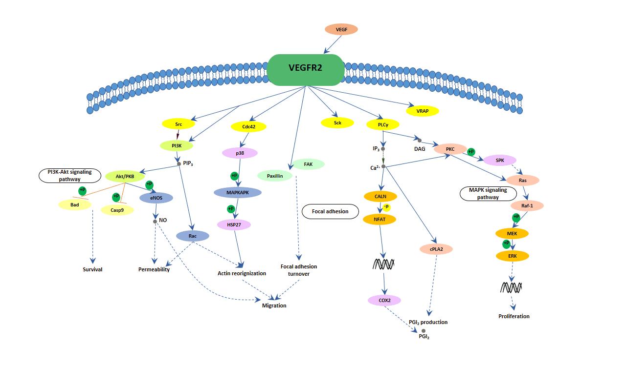Map2k1 Pathway.Vegf Signaling Pathway Cusabio