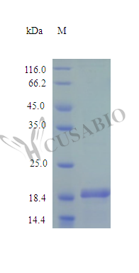 SDS-PAGE- Recombinant protein Human SHH