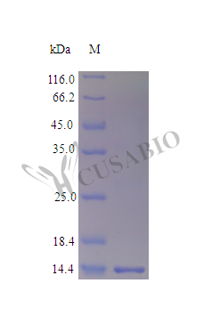 SDS-PAGE- Recombinant protein Human LGALS1