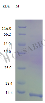 SDS-PAGE- Recombinant protein Human CCL17