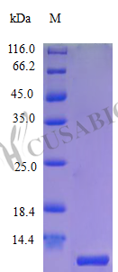 SDS-PAGE- Recombinant protein Human CCL18