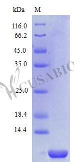 SDS-PAGE- Recombinant protein Human CXCL6