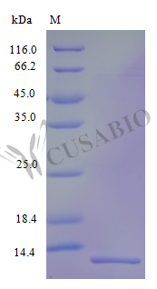 SDS-PAGE- Recombinant protein Human CXCL17