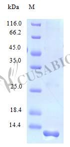 SDS-PAGE- Recombinant protein Human XCL1