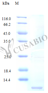 SDS-PAGE- Recombinant protein Human CX3CL1