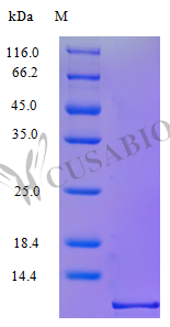 SDS-PAGE- Recombinant protein Human CCL1