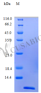 SDS-PAGE- Recombinant protein Human CCL2