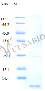 SDS-PAGE- Recombinant protein Human CCL3L1