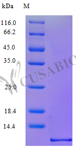 SDS-PAGE- Recombinant protein Human CCL3
