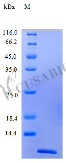SDS-PAGE- Recombinant protein Human CCL4