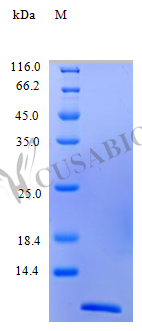 SDS-PAGE- Recombinant protein Human CCL13