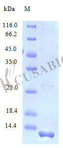 SDS-PAGE- Recombinant protein Human CCL21
