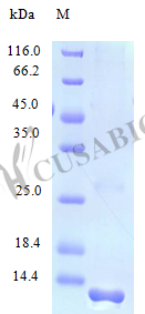 SDS-PAGE- Recombinant protein Human CCL23