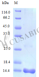 SDS-PAGE- Recombinant protein Human CCL25