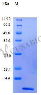 SDS-PAGE- Recombinant protein Human CCL26