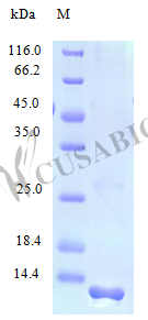 SDS-PAGE- Recombinant protein Human CCL28