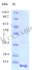 SDS-PAGE- Recombinant protein Human FAM19A2