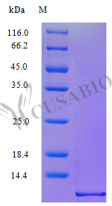 SDS-PAGE- Recombinant protein Rhesus CXCL10