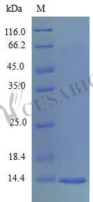SDS-PAGE- Recombinant protein Mouse Ccl28