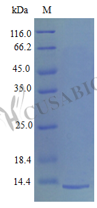 SDS-PAGE- Recombinant protein Mouse Pf4