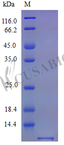 SDS-PAGE- Recombinant protein Mouse Ccl5