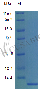 SDS-PAGE- Recombinant protein Mouse Ccl7