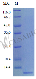 SDS-PAGE- Recombinant protein Mouse Ccl8