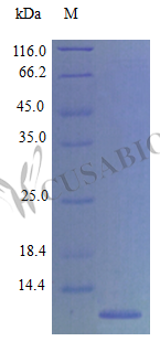 SDS-PAGE- Recombinant protein Mouse Ccl11