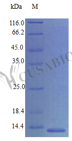 SDS-PAGE- Recombinant protein Mouse Ccl21c