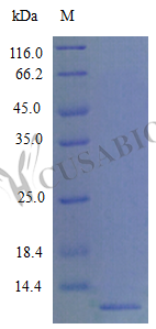 SDS-PAGE- Recombinant protein Mouse Ccl22