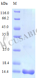 SDS-PAGE- Recombinant protein Mouse Ccl25