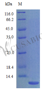 SDS-PAGE- Recombinant protein Rat Cxcl1