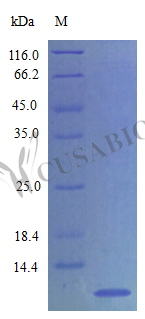 SDS-PAGE- Recombinant protein Rat Ppbp