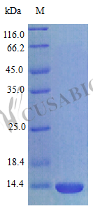 SDS-PAGE- Recombinant protein Rat Cxcl17