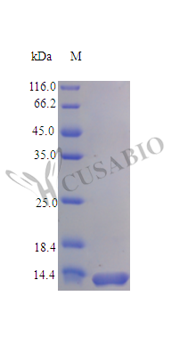 SDS-PAGE- Recombinant protein Rat Ccl28