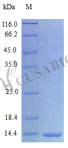 SDS-PAGE- Recombinant protein Human IL15
