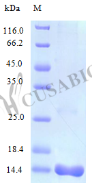 SDS-PAGE- Recombinant protein Human IL16