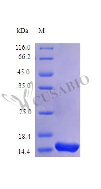 SDS-PAGE- Recombinant protein Human IL21