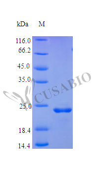 SDS-PAGE- Recombinant protein Human FGF9