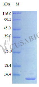 SDS-PAGE- Recombinant protein Human HBEGF
