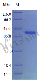 SDS-PAGE- Recombinant protein Human CYR61