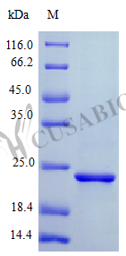 SDS-PAGE- Recombinant protein Human CNTF