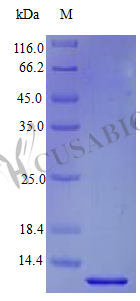 SDS-PAGE- Recombinant protein Human BTC