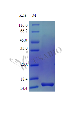 SDS-PAGE- Recombinant protein Human PTN
