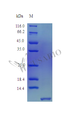 SDS-PAGE- Recombinant protein Human DEFB103A